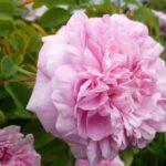 jesienne sadzenie roz